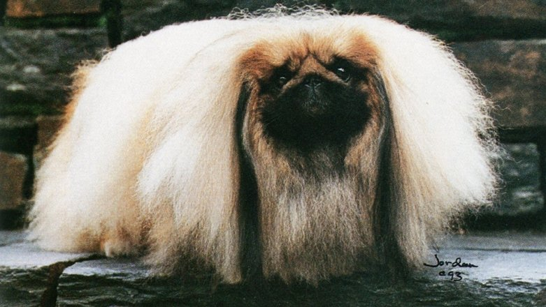 How Much Have They Changed Pekingese from the 1930s to 2005 BY BO BENGTSON Dog News November 2020