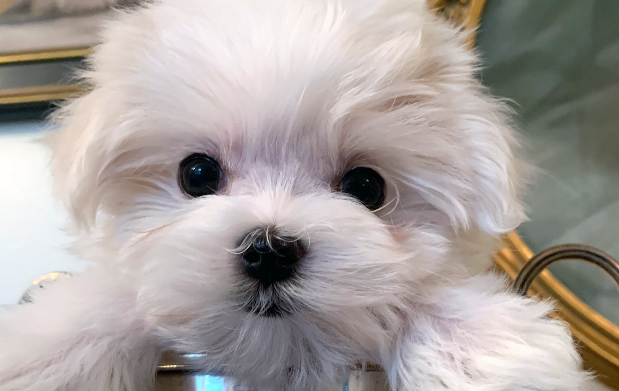 Maltese puppy for portfolio