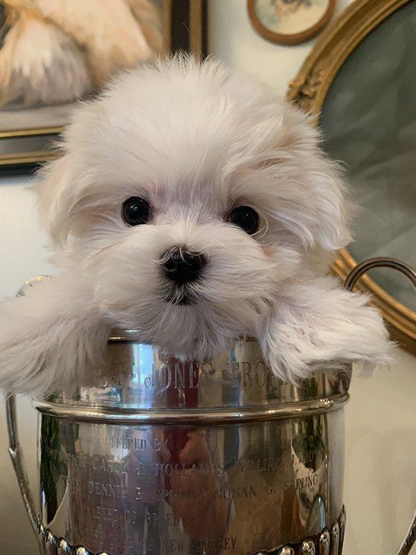 Maltese puppy sitting in a trophy