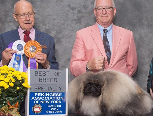 Ch Pequest Feel The Burn Group Best of Breed Pekingese Association of NY 2017