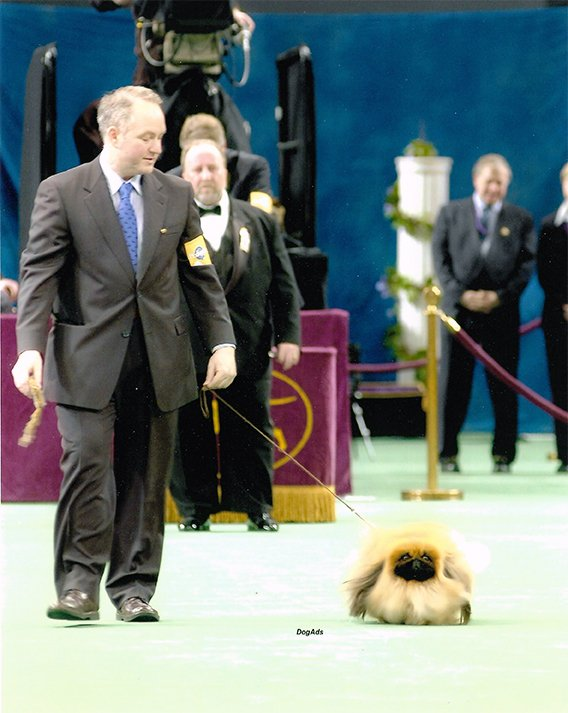 Ch Yakee If Only on the down and back at Westminster KC 2005
