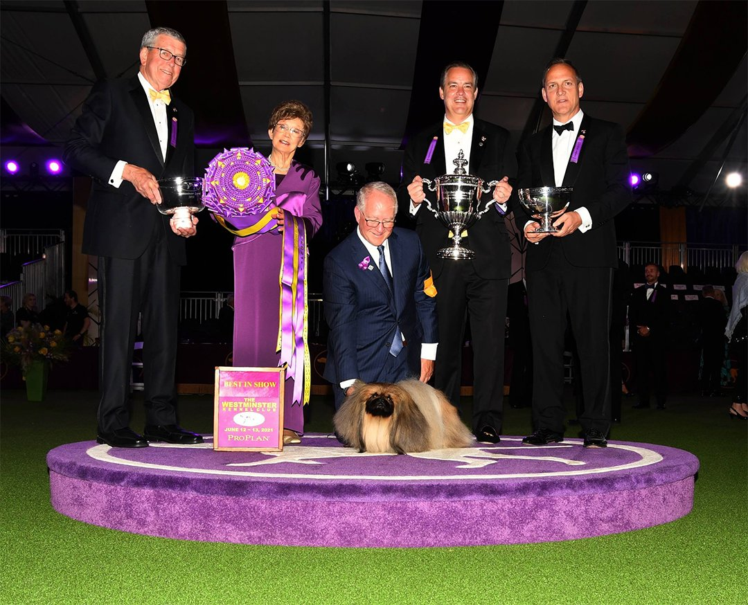 2021 Westminster Kennel Club Best In Show - GCHG Pequest Wasabi