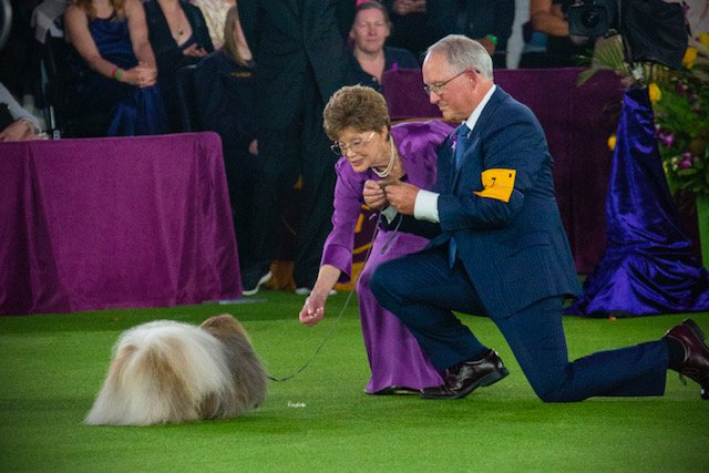 Judge Pat Trotter kneeling down to see Wasabi's expression at the 2021 Westminster Kennel Club Dog Show.