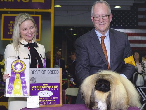 Ch Pequest Primrose at Westminster Best of Breed 2019