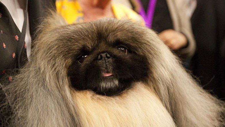 Tiny Pekingese is big dog at Westminster - Feb 2012